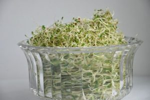grow alfalfa sprouts