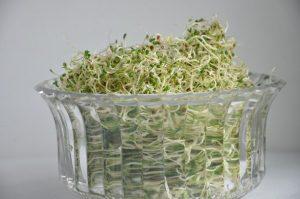 grow alfalfa sprouts
